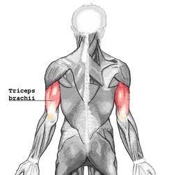 triceps brachii diagram 2000 honda xr650r wiring wikipedia