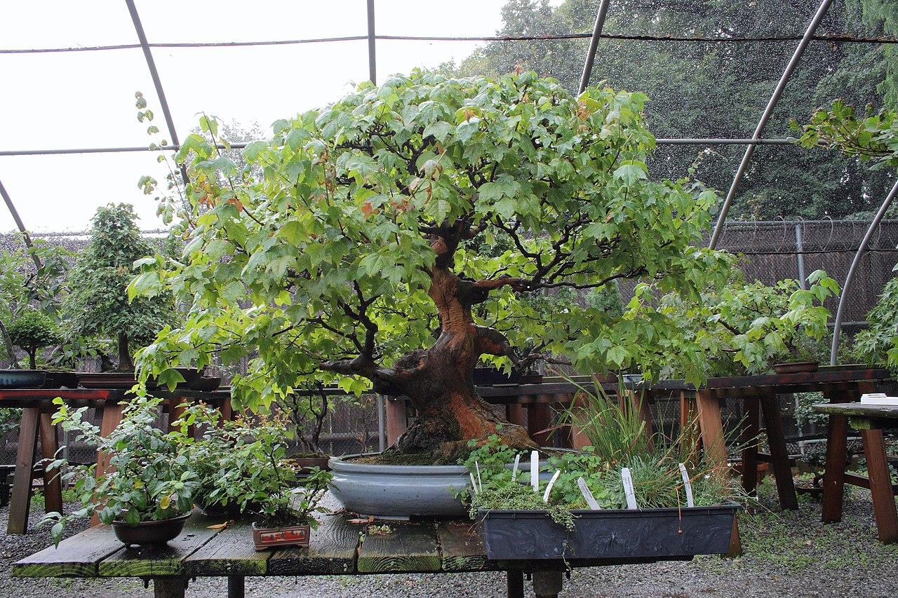 File Trident Maple Bonsai At The Bbg August 2 2008 Jpg