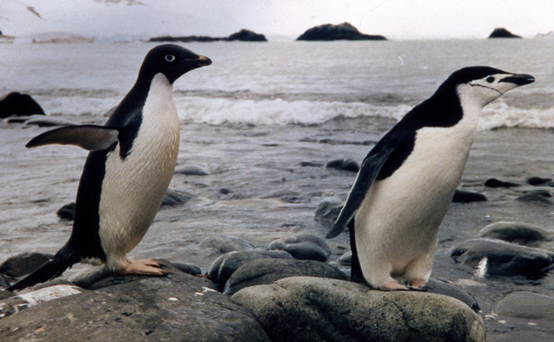 File:Two species of penguim at Arctowski Polish Station.jpg