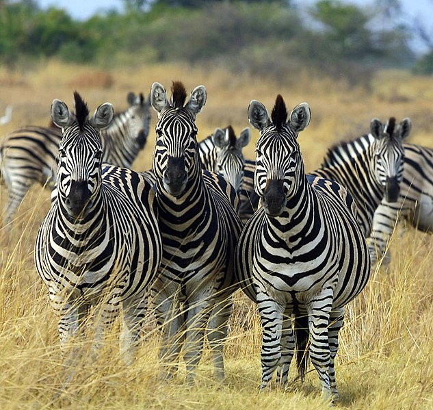 File:Zebra Botswana edit02.jpg