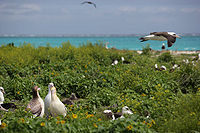 北西ハワイ諸島国定公園、ミッドウェイ環礁、2007年3月にアルバトロスの鳥