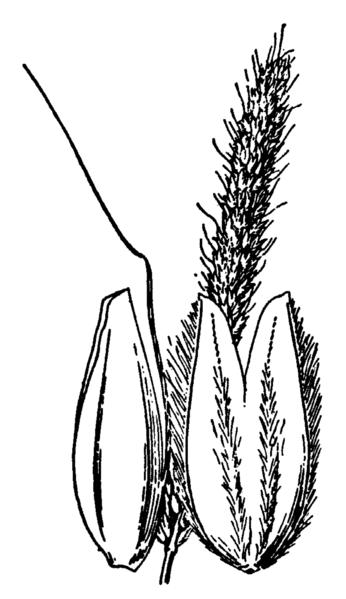 File:Alopecurus geniculatus geniculatus drawing.png