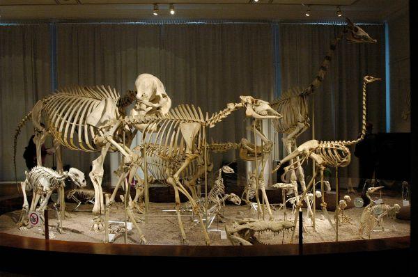 File Animal Skeletons Finnish Natural History Museum
