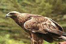 golden eagle wikipedia