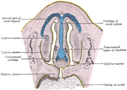 labelled diagram of a cow golf cart insurance vomeronasal organ - wikipedia