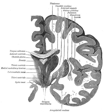 Sezione frontale dell'encefalo che dimostra la posizione