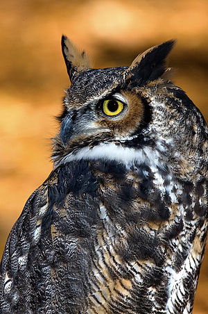 English: Great horned owl
