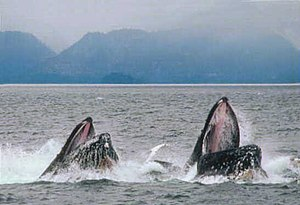 This image shows a pair of Humpback Whales &qu...