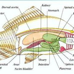 Dissecting Microscope Diagram Bones In Your Foot Fish Anatomy - Wikipedia