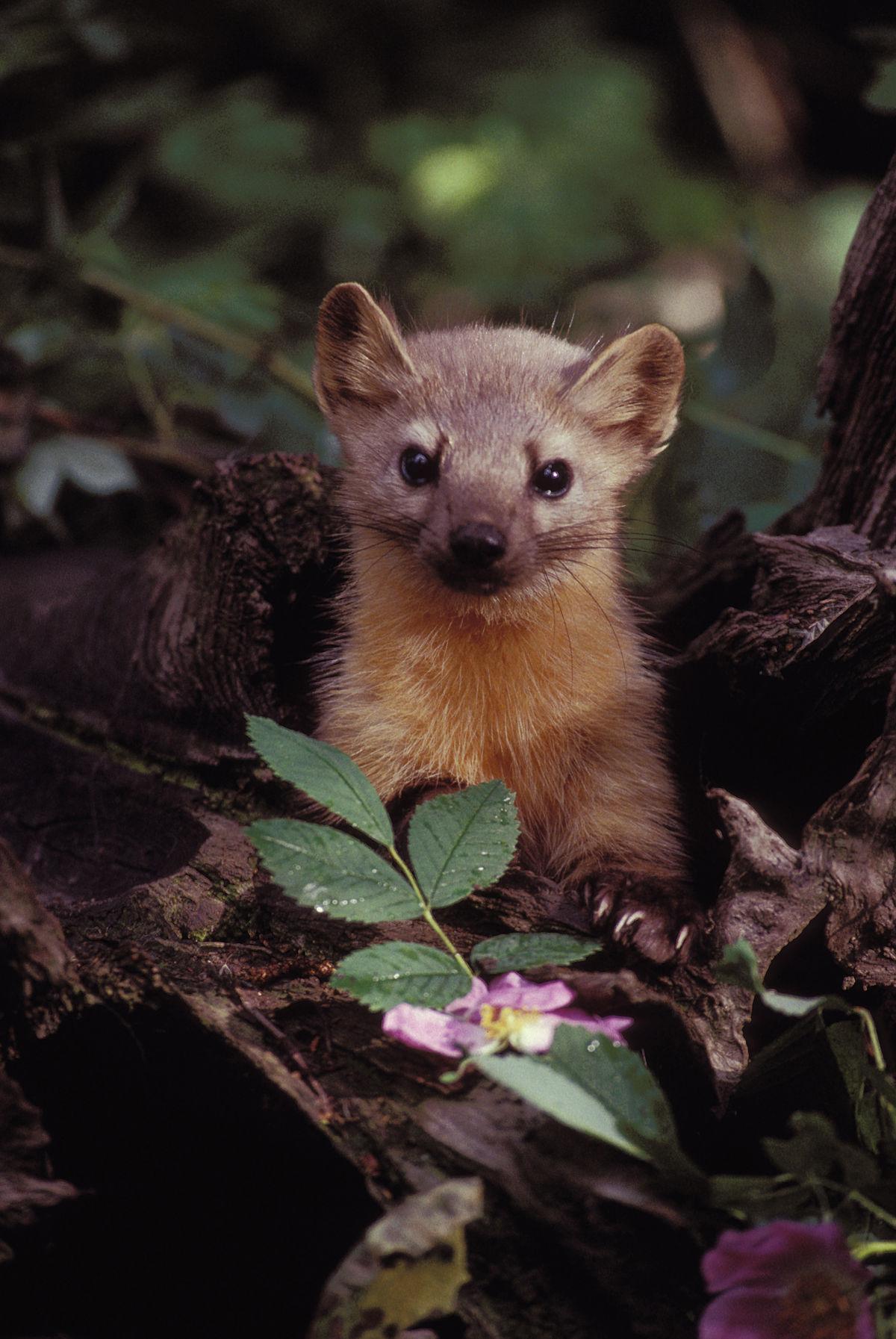 Fisher Weasel Wisconsin