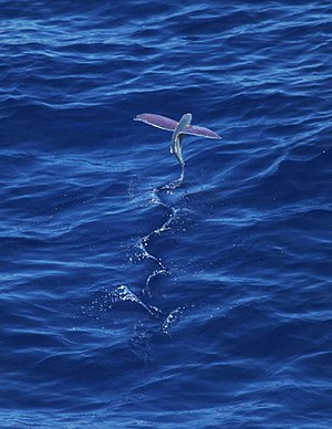 Flying fish shortly after take-off