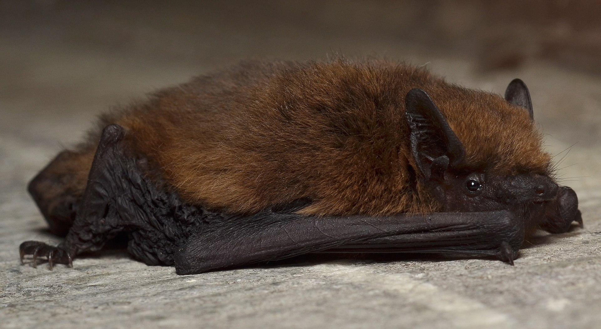 Pipistrellus  Wikipdia