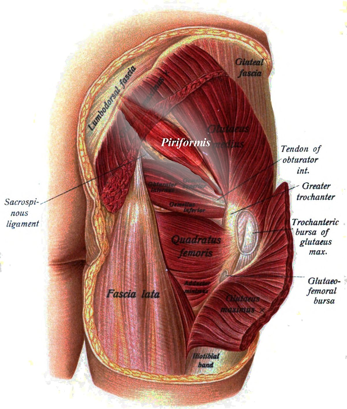 gluteus muscles diagram pain labeled leaf piriformis muscle wikipedia