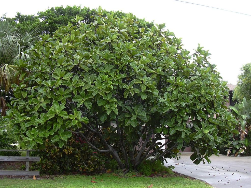 Image result for ficus lyrata nature