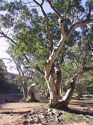 A tree on the Finke River along the Larapinta ...