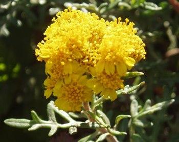 Eriophyllumstaechadifolium.jpg