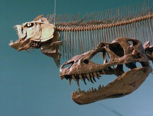 Gorgosaurus libratus - Xiphactinas audax - Wallace Building (4043230505).jpg