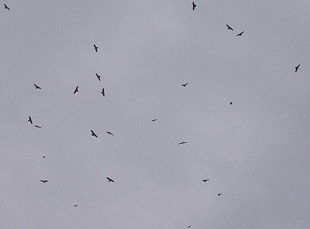 A migratory flock of honey buzzards