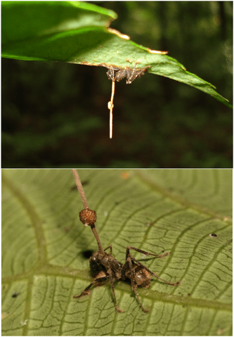 https://i0.wp.com/upload.wikimedia.org/wikipedia/commons/thumb/8/85/Ophiocordyceps_unilateralis.png/333px-Ophiocordyceps_unilateralis.png