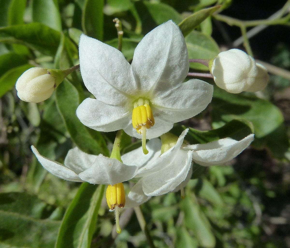 Solanum laxum  Wikimedia Commons