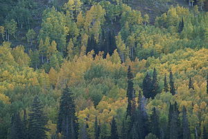 Leaves of Utah mountain trees changing color d...