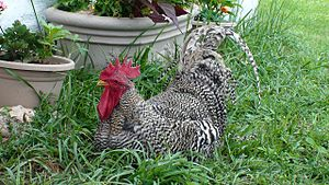 A Barred Plymouth Rock rooster.