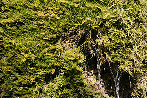 A moss, assimilating its carbon dioxide from m...