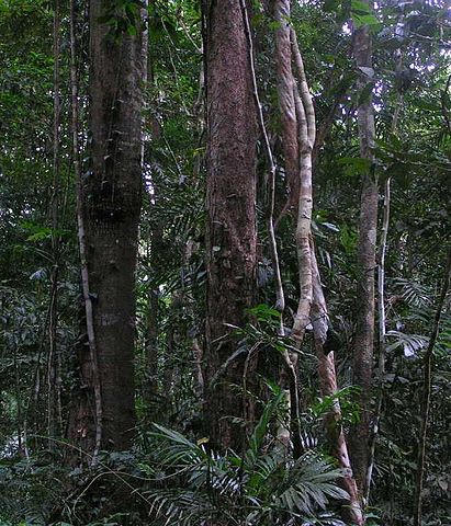 Actually in Australia (the Daintree) not the Amazon...