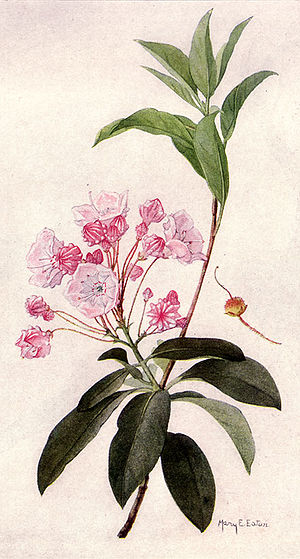 Mountain Laurel (NGM XXXI p503)