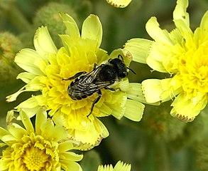 Dernière rumeur sur les abeilles 1 dans ABEILLES 293px-Solitary_bee_June_2007-1