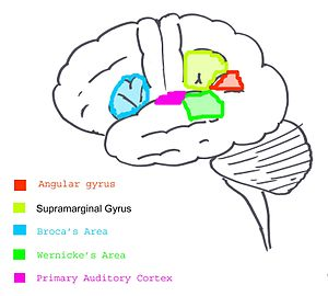 English: Basic sketch of brain areas involved ...