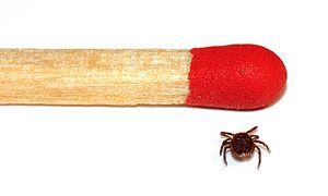 Male tick size comparison to a match.