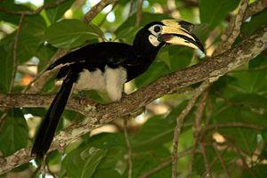 Oriental Pied-hornbill on Pangkor Island, Mala...