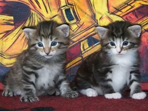 Two tabbies norwegian forest cat kittens