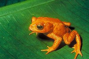 Golden Toad (Bufo periglenes) †. Français : Cr...