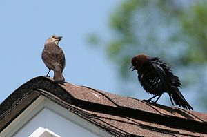Brown-headed Cowbirds - courtship behavior. Ja...