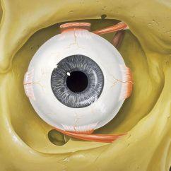 Diagram Of Artificial Eye 3sgte Wiring Orbit Anatomy Wikipedia