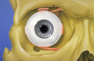 Normal anatomy of the human eye and orbit, ant...