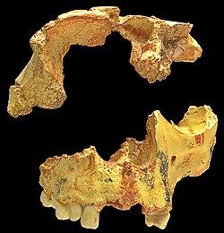 Homo antecessor.jpg