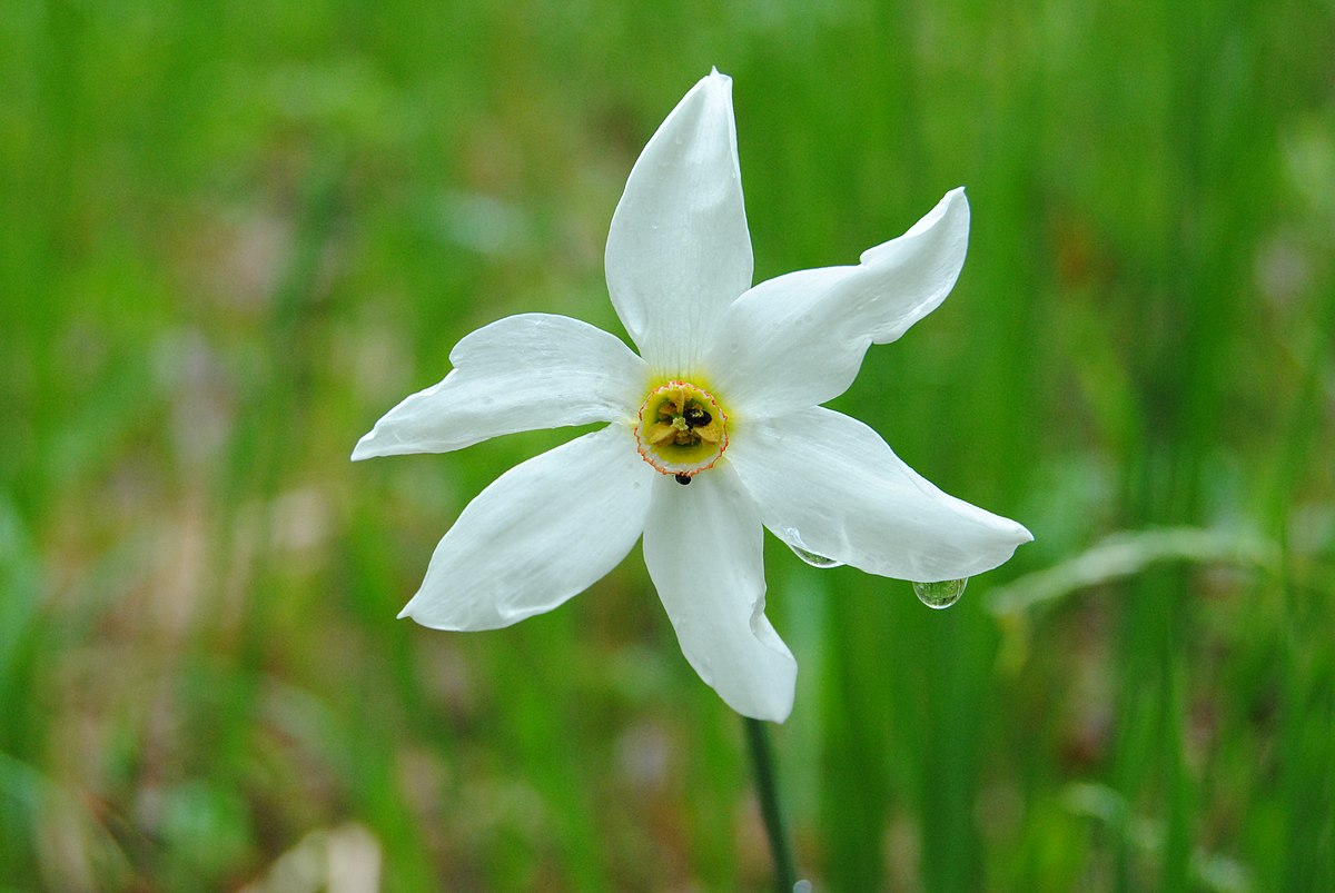 narcissus  Wiktionary