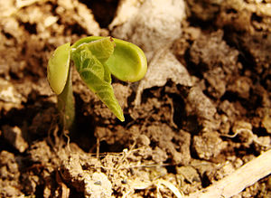 English: Seedling