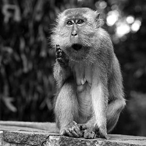English: A small monkey. Singapore.