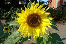 Sonnenblume  Wiktionary