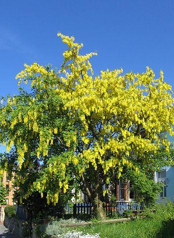 Laburnum tree in full flower
