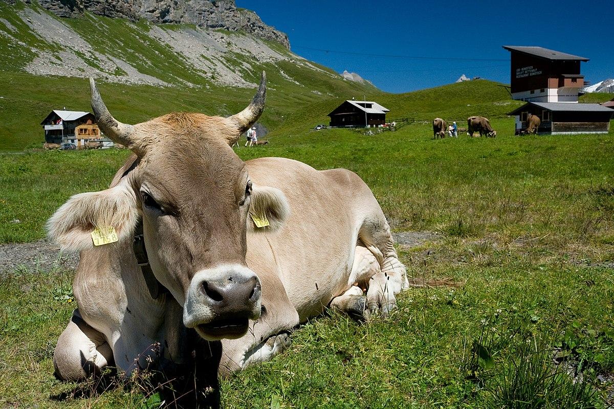 Melchsee-Frutt Kuh.jpg