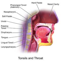 Throat Anatomy Diagram Fahrenheit 451 Plot Tonsil Wikipedia Blausen 0861 Tonsils Anatomy2 Png