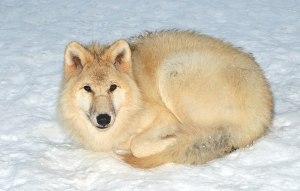 File:Canis lupus arctos (Pocock, 1935)jpg  Wikimedia Commons