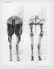 horse muscle and bone diagram define pictorial wiring limbs of the wikipedia limb anatomy edit