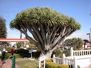 Dracaena draco, the Dragon Tree, at the Hotel ...
