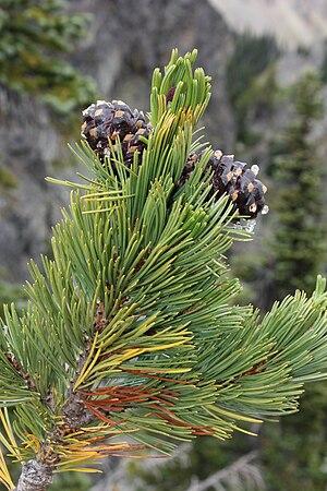 Whitebark Pine. Français : Tige et cônes de Pi...